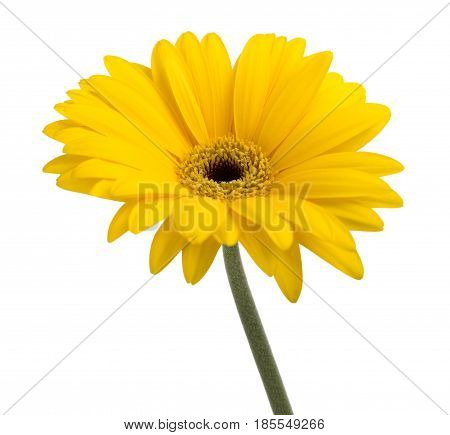 Yellow gerbera isolated on a white background