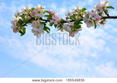 Apple blossoms and blue sky in spring day.
