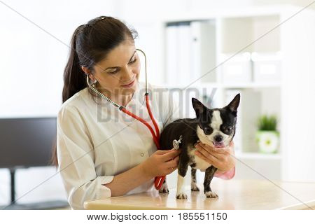 Veterinarian doctor examining Chihuahua dog at vet ambulance