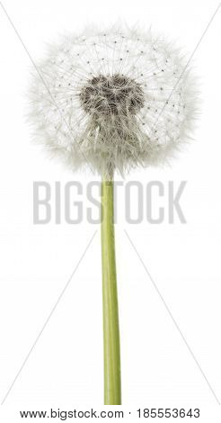 dandelion blowball isolated on a white background