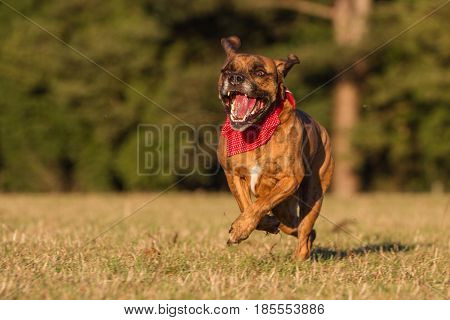 Happy Pet Dog Running across field With Bandana