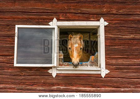 Horse sticks his head through a window and looks into the camera outdoors. Old window frame on red worn wooden barn wall. Curious horse looking at people passing by outside summer shot.