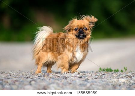 Pekinese on a walk, and is carefully studying the area.