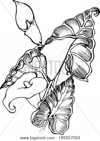 Illustration of white spathiphyllum. A symbol of beauty and refinement.