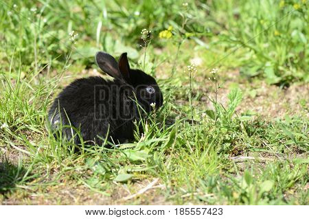 Small Black Baby Rabbit On The Grass