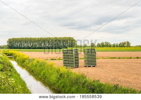 Rural area in the Netherlands. On the prepared field just stacked crates with small celeriac plants are waiting for planting.