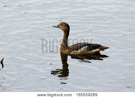 beautiful Lesser Whistling-Duck (Dendrocygna javanica) resting on the water