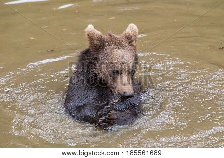 Baby brown bear sitting in the water eating a young twig. He holds a twig with young leaves in his paw. Brown bear Ursus arctos.