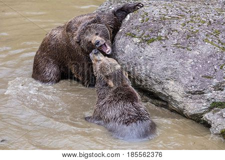 Brown bear couple cuddling in water. Two brown bears play in the water.