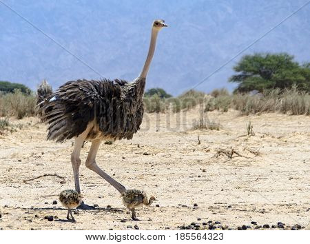 Female of African ostrich (Struthio camelus) with young chicks in nature reserve park, 35 km north of Eilat, Israel