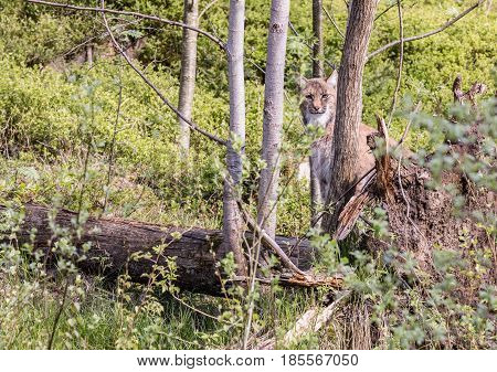 EEurasian lynx looks around looks straight ahead in front of the lens. uroasian lynx in the park in eastern germany european wild cats animals in european forests lynx lynx