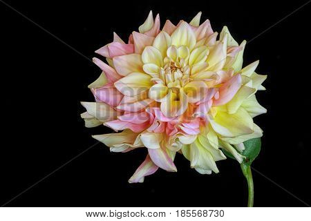 Pastel yellow and pink garden dahlia on black.