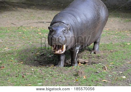 Silly pygmy hippo with his mouth open showing off his teeth in a grin.