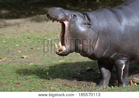 A pygmy hippo with his mouth open with his tusks showing.