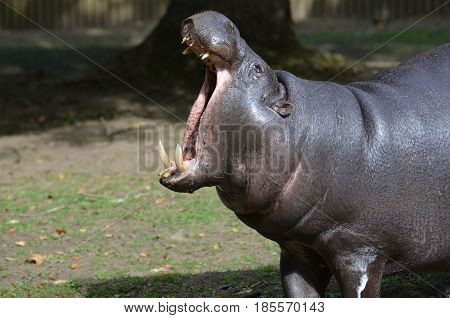 Pygmy hippopotamus with tusks in his mouth.