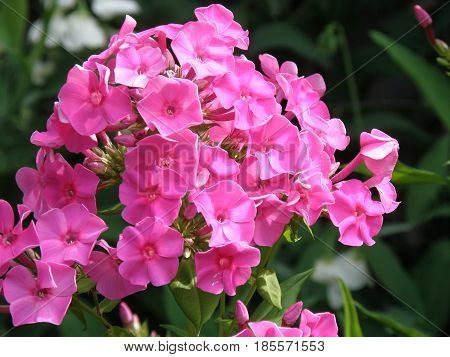 phlox big and beautiful singles Perennials new for 2014  the flowers range from beautiful to bizarre,  30 high, pink flowers open as singles and slowly develop a large pompom of center petals.