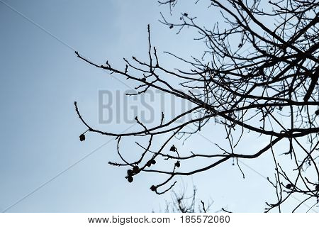 bare tree branches against the blue sky . Photo in nature