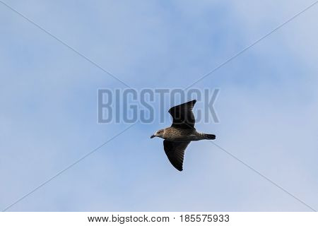 Juvenile Gull bird with dark bill and mottled brown gray feathers flying against blue sky in Tasmania, Australia