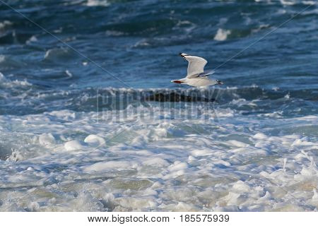 Silver Gull, Seagull seabird with scarlet legs, bill, eye ring flying above sea water with food in its beak, Autumn in Tasmania, Australia