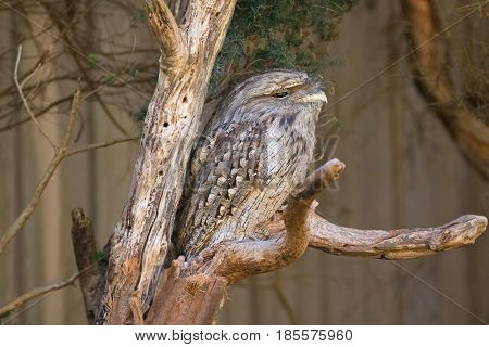 Sleepy face of Tawny frogmouth with tufts perching on tree branch, native stocky bird in Australia, Tasmania (Podargus strigoides)