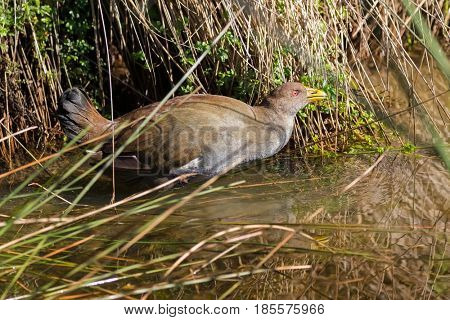 Tasmanian nativehen, flightless bird with yellow beaks, red eyes walking in water in afternoon, endemic to Tasmania, Australia (Tribonyx mortierii)