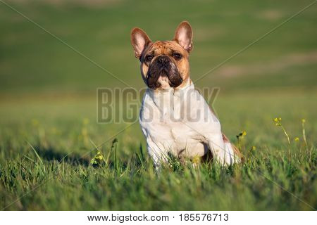 adorable red and white french bulldog dog outdoors in summer