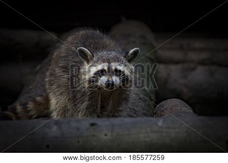 Raccoon Procyon lotor in an pine forest - Ontario, Canada