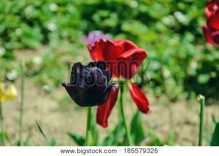 Close up of beautiful flowering black tulips in the garden in springtime. Colorful spring Background. Sunny day. Detail view of blooming tulip flowers at sunlight on spring time. Spring landscape