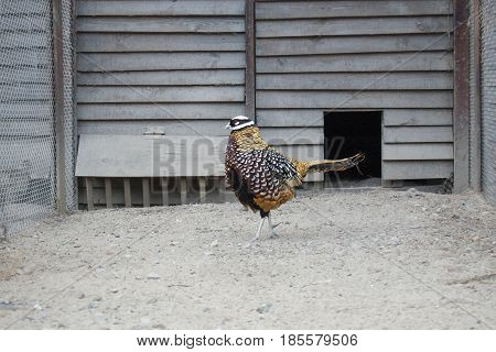 Imperial  pheasant  at the backyard, poultry yard. Cage
