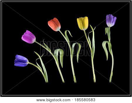View of different coloured tulips dancing on a black background