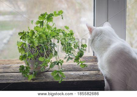 Fresh coriander in a ceramic pot. White cat