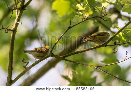 Pair of goldcrests (Regulus regulus) on branch. Britain's smallest bird in the family Sylviidae with male displaying impressive gold crest