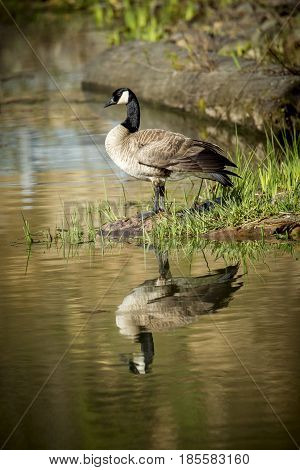 A Canadian goose stands by water of Fernan Lake in Idaho.