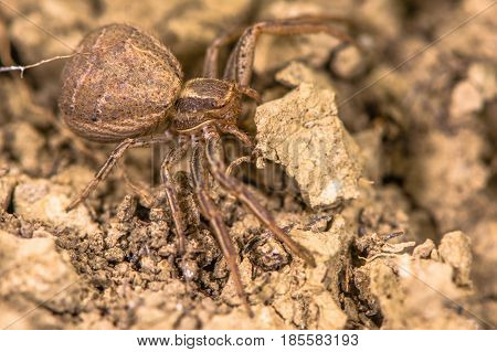 Xysticus bifasciatus spider. Female crab spider in the family Thomisidae at ground level in limestone grassland