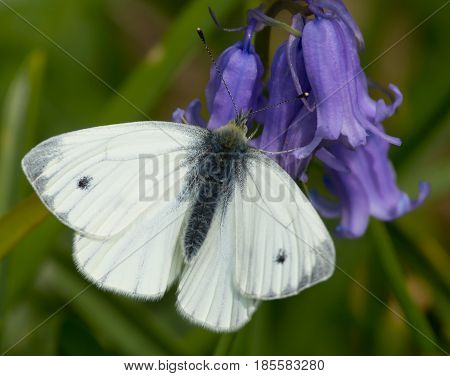 Large Cabbage White Butterfly on Bluebell Flower