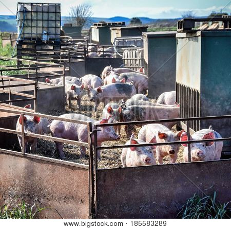 Young piglets in open air pig farm Yorkshire England