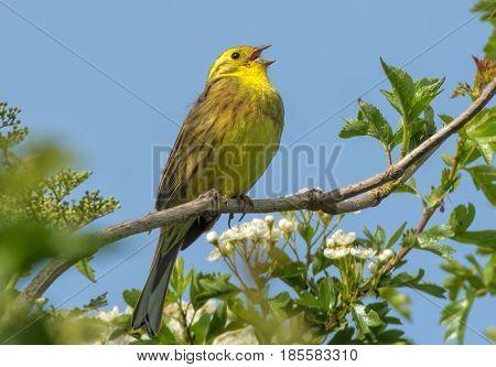 Yellow Song Bird Emberiza citrinella Perched singing