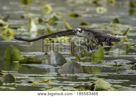 Osprey flies off with fish in Fernan Lake in North Idaho.