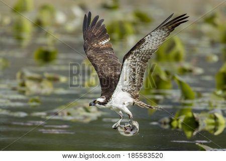 Osprey has fish in claws in Fernan Lake in North Idaho.