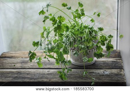 Fresh coriander in a ceramic pot On an old wooden table
