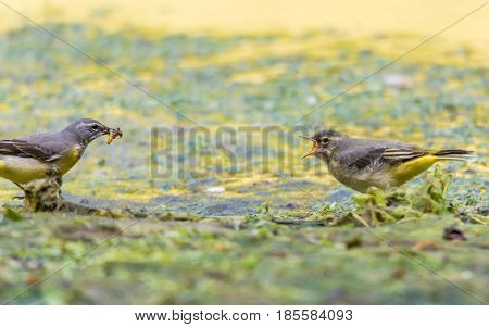 Grey wagtail (Motacilla cinerea) adult feeding fledgling. Colourful female bird in the family Motacillidae offering invertebrates to hungry chick