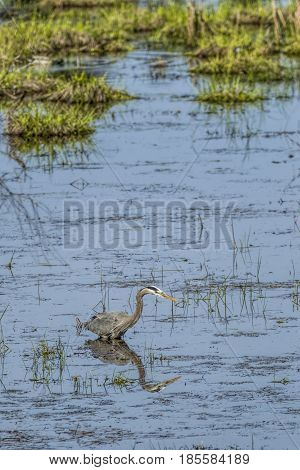 Great blue heron wading in water in north Idaho. poster