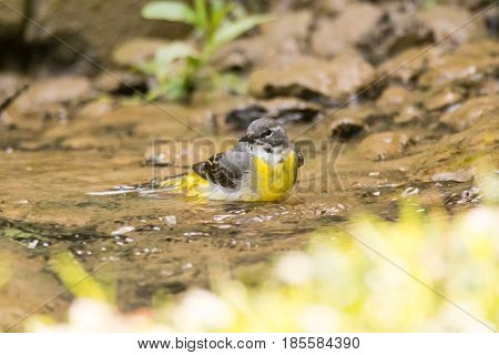 Grey wagtail (Motacilla cinerea) bathing in stream. Colourful female bird in the family Motacillidae taking a bath in shallow water