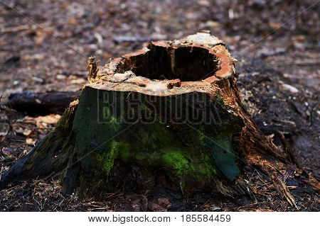 Stump with a hole , rotten, standing in a Park or in a forest with pine trees