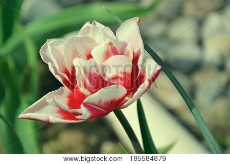 Close up of beautiful flowering red and white tulips in the garden in springtime. Colorful spring Background. Sunny day. Detail of blooming tulip flowers at sunlight on spring time. Spring landscape