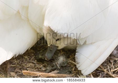 Mute swan (Cygnus olor) cygnet under mother's wing. Young chick nestled under feathers of mother's wing on nest