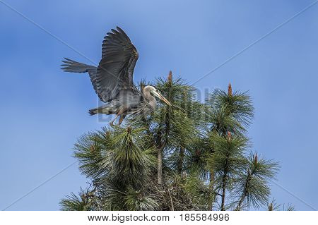 Great blue herons working on building their nest by Fernan Lake in north Idaho.