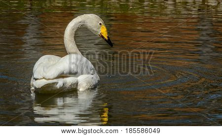 Trumpeter Swan in water at the Bronx Zoo.