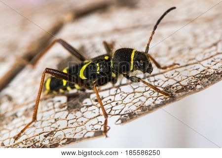 Wasp beetle (Clytus arietis) on leaf. A striking yellow and black wasp mimic in the family Cerambycidae displaying Batesian mimicry
