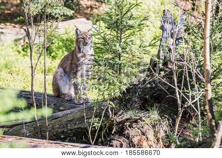 Eurasian lynx looks around looks straight ahead in front of the lens. uroasian lynx in the park in eastern germany european wild cats animals in european forests lynx lynx